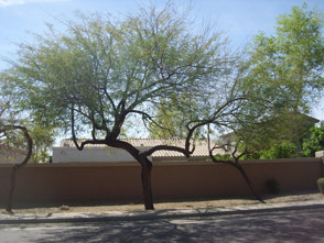 Trees Are A Necessary Element To Any Landscape In Mesa Arizona And They Serve Variety Of Purposes Our Yard World